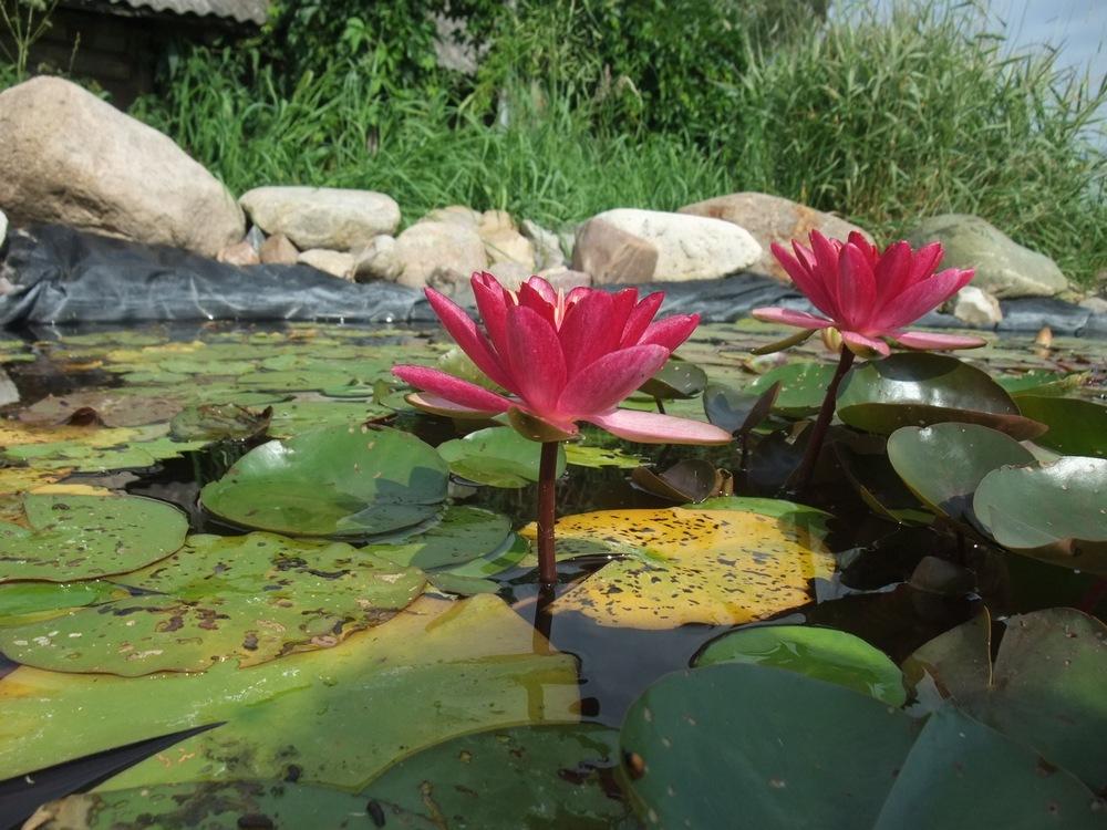 Выращивание водных лилий 83